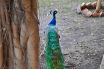 The beautiful peacocks in the garden of Mohatta Palace