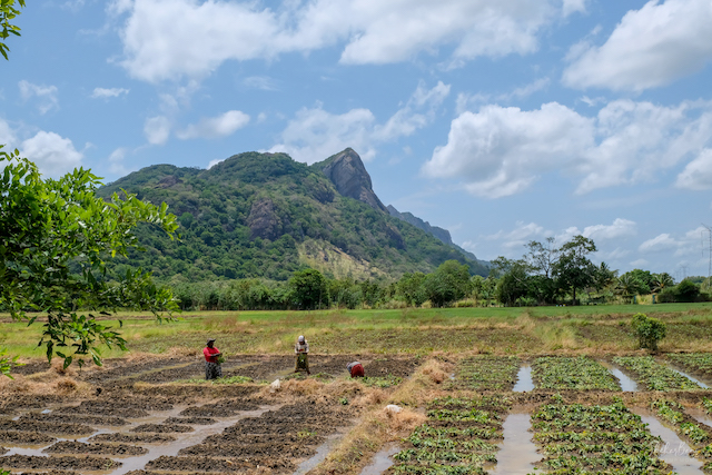 Srilanka Landscape 1
