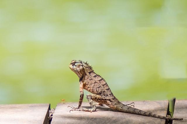 Srilanka Lizards.jpg