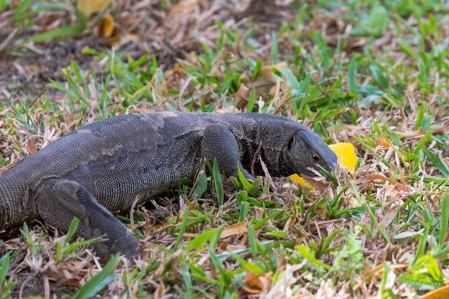 Srilanka Monitor Lizard.jpg