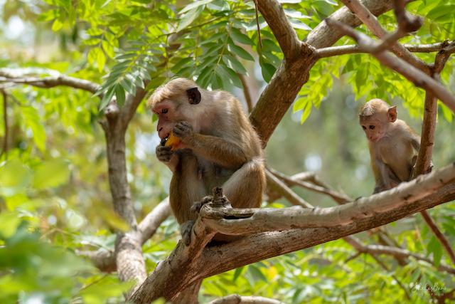 Srilanka Monkey 2