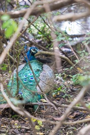 Srilanka Peacock